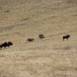 Black Wildebeest and Warthog