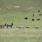 Zebra, Springbuck & Black Wildebeest